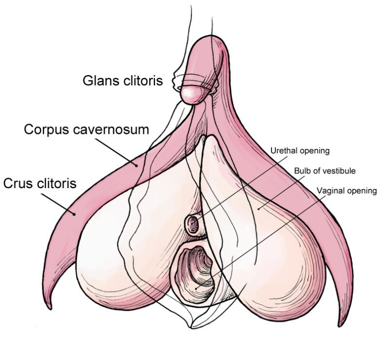 Clitoris_anatomy_labeled-en